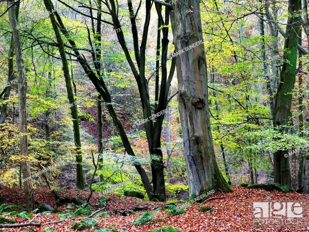 Stock Photo: Autumn Trees in Skrikes Wood near Pateley Bridge North Yorkshire England.