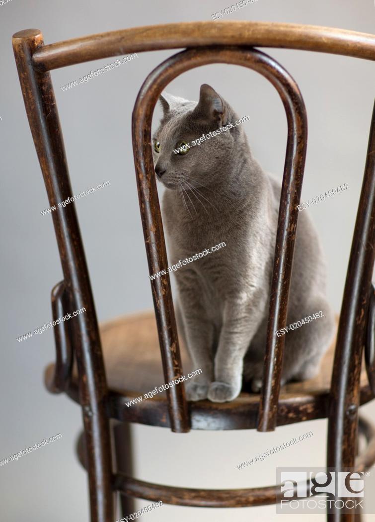Stock Photo: Russisch Blau Katzenportrait.