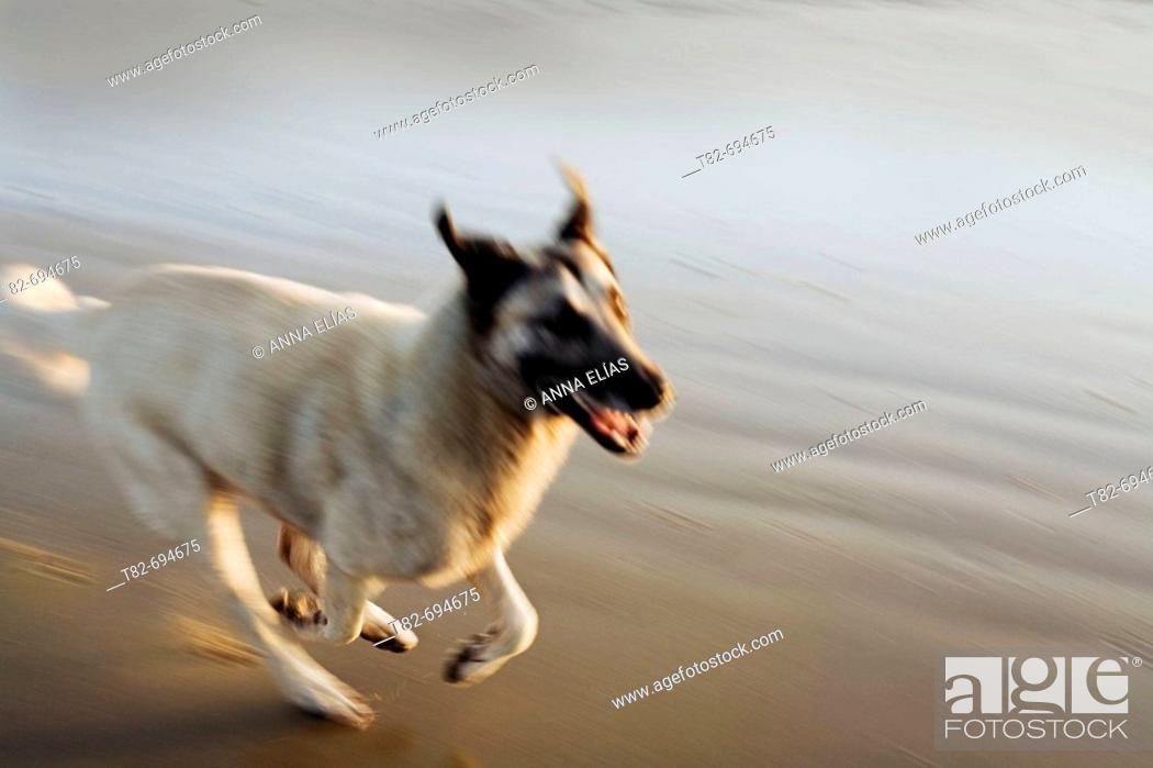 Stock Photo: Running dog.