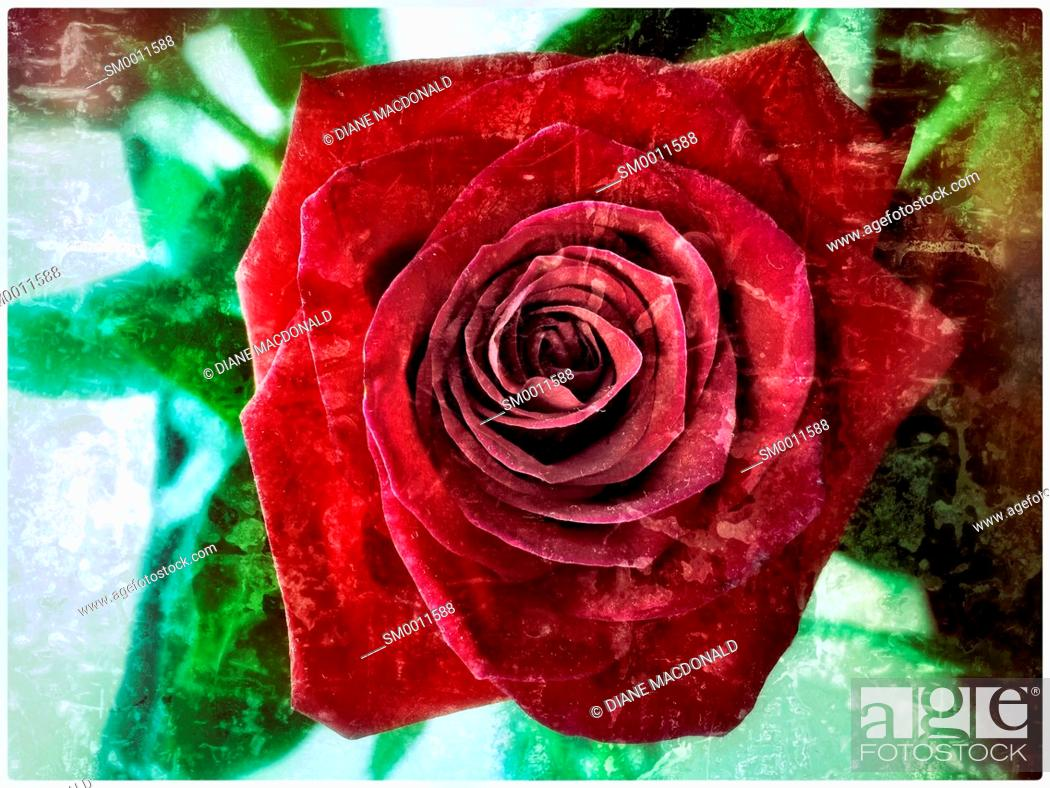 Stock Photo: Open red rose.
