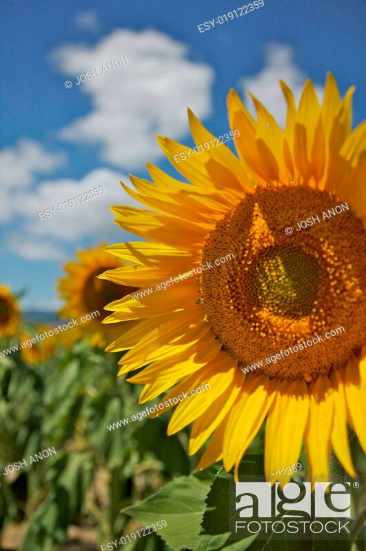 Stock Photo: Sunflower in a Field.