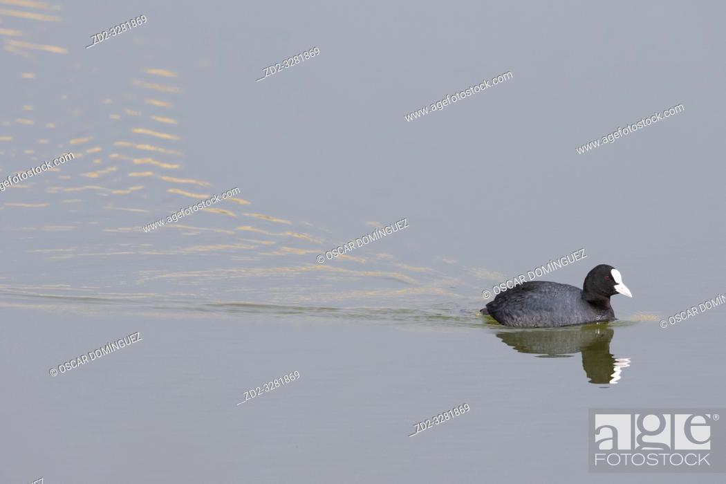 Stock Photo: Common Coot (Fulica atra) on water. Natural Areas of the Llobregat Delta. Barcelona province. Catalonia. Spain.