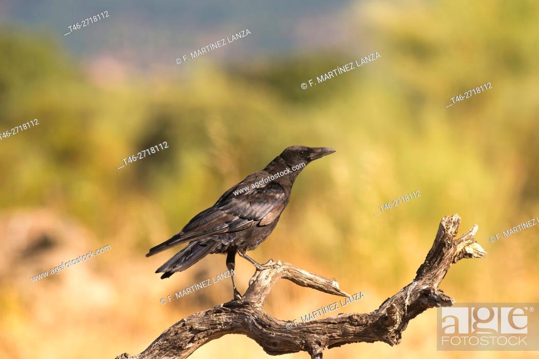 Stock Photo: Common raven (Corvus corax). Fresnedilla de la Oliva, Madrid Province, Spain.