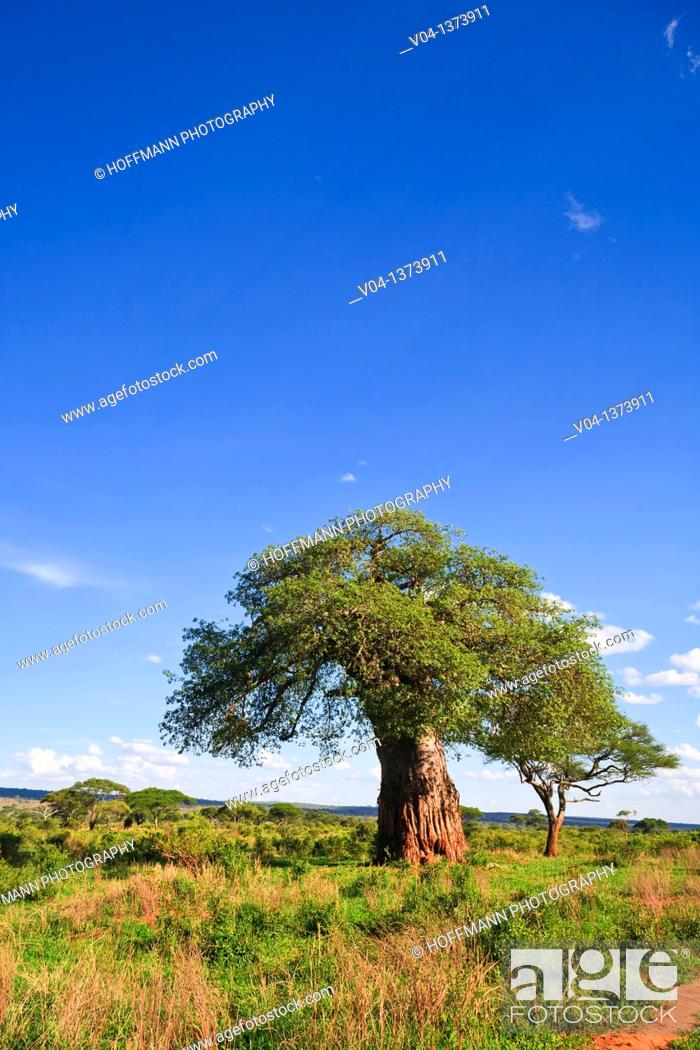 Stock Photo: Baobab tree in the Tarangire National Park in Tanzania, Africa.
