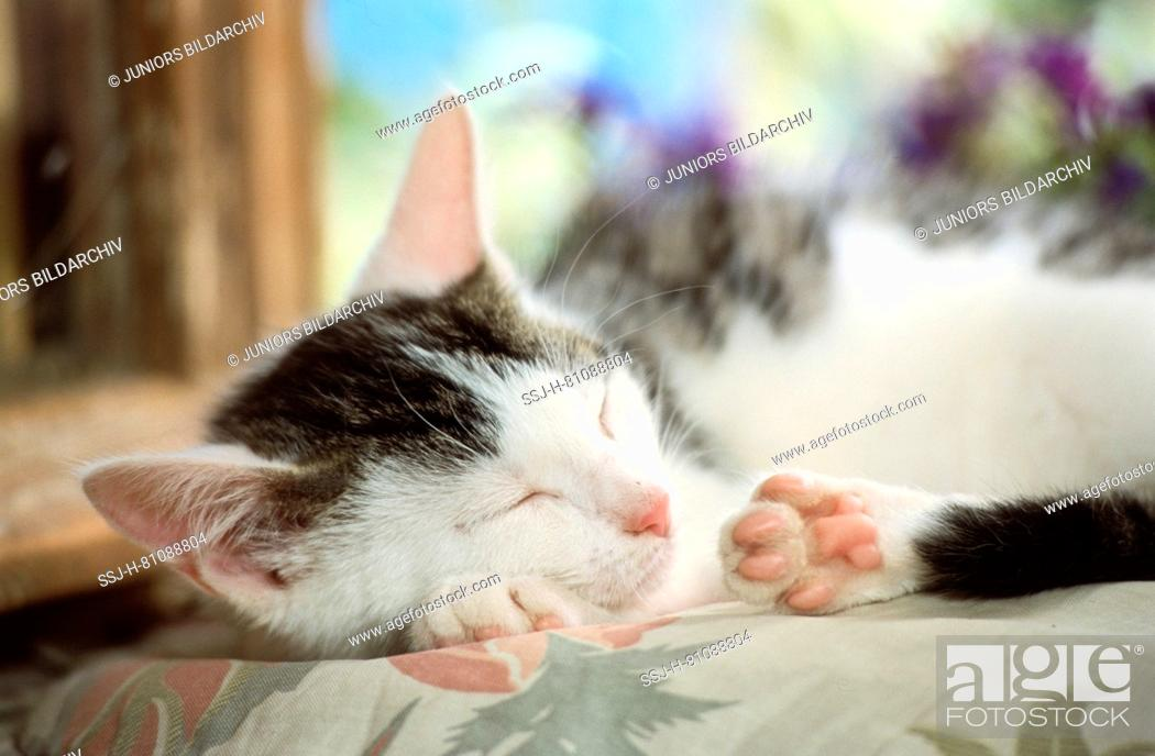 Stock Photo: Domestic cat. Kitten sleeping in a room. Germany.