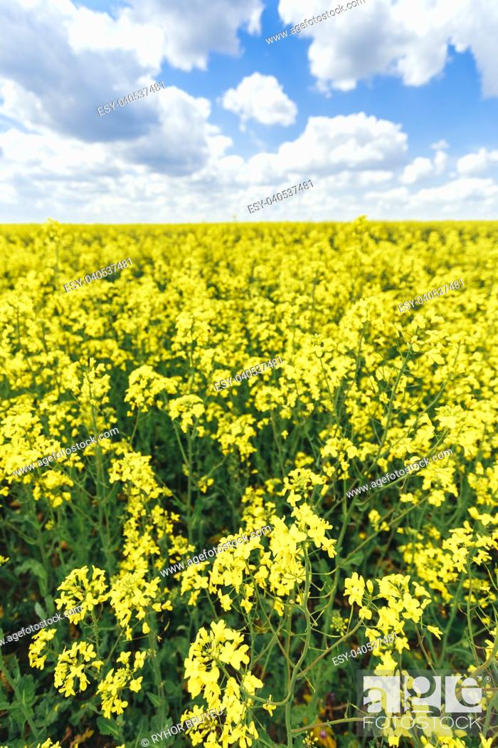 Stock Photo: Green Field Blue Sky. Early Summer, Flowering Canola, Rape, Rapeseed, Oilseed, Biodiesel Crop. Agricultural Background.