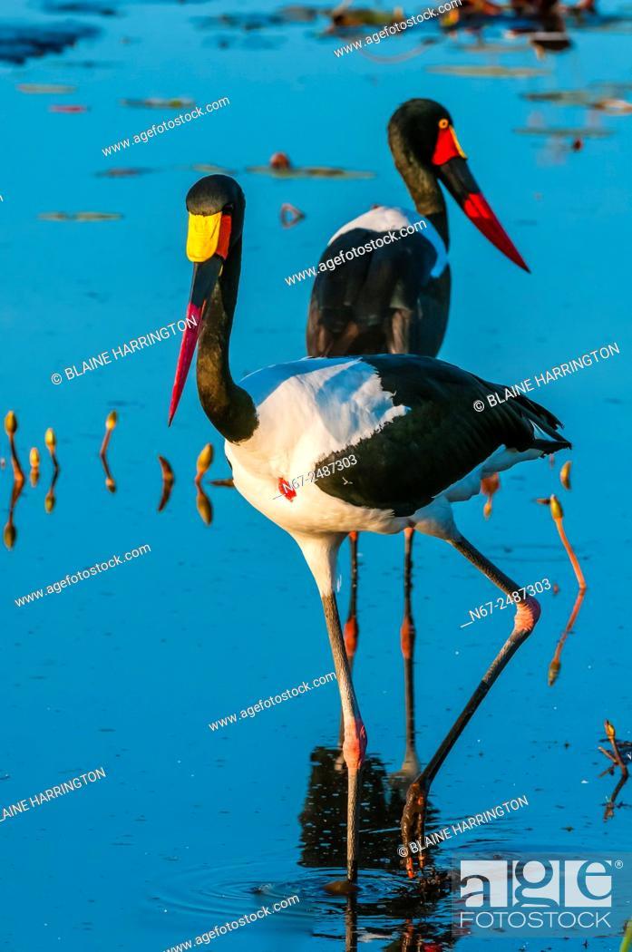 Stock Photo: Saddle-billed storks in a shallow stream, near Kwara Camp, Okavango Delta, Botswana.