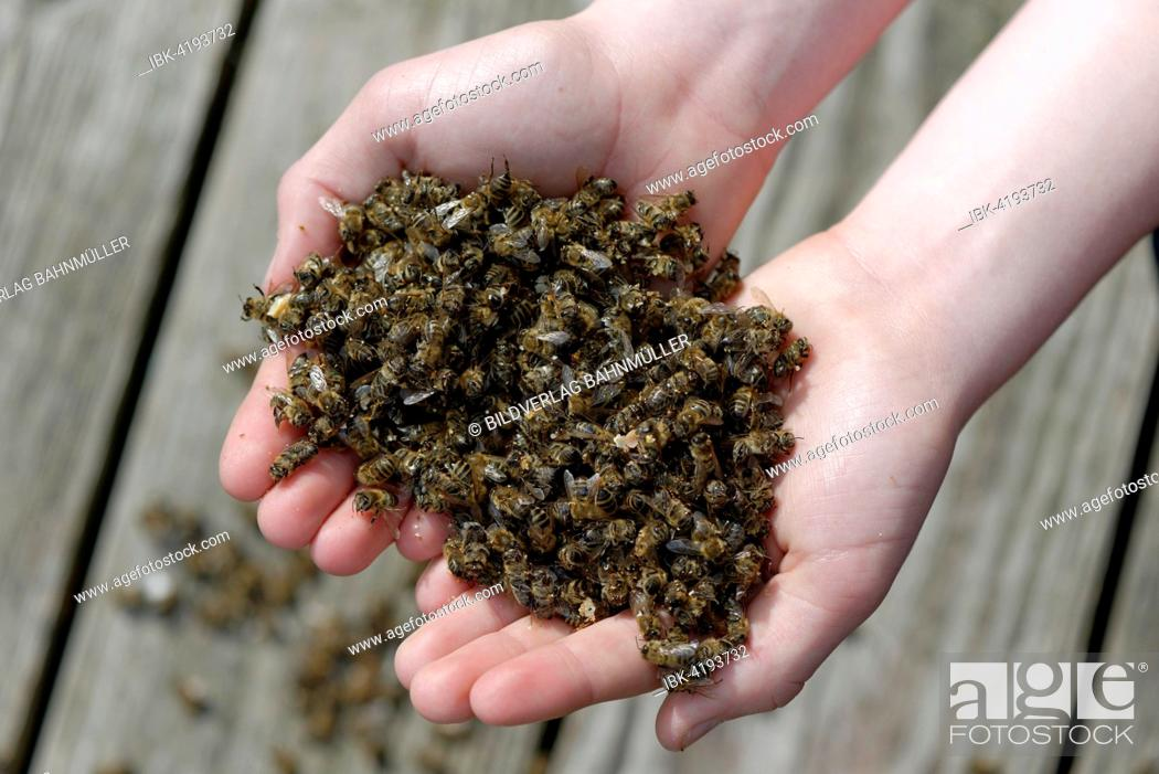 Stock Photo: Dead bees in the hands of a beekeeper, colony collapse disorder, CCD, due to the Varroa mite, Upper Bavaria, Bavaria, Germany.