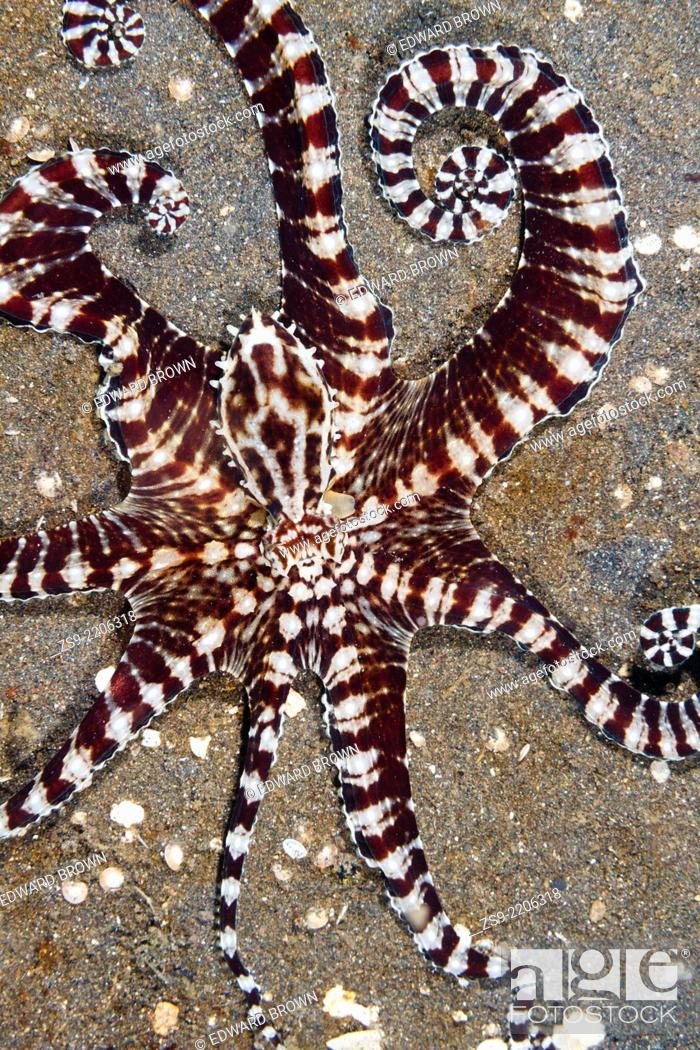 Stock Photo: Mimic octopus (Thaumoctopus mimicus) Lembeh Strait, Indonesia.