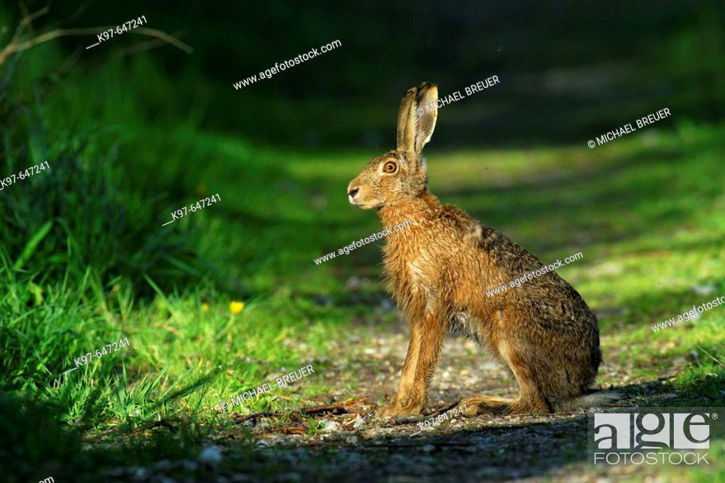 Stock Photo: Brown hare, European Hare, Germany.