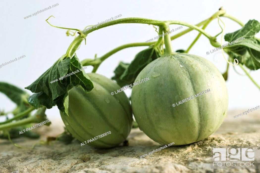 Stock Photo: Melons on vine.