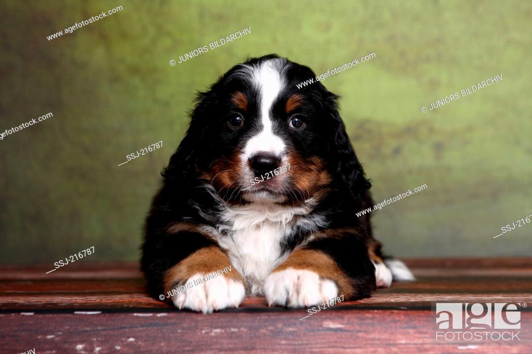 Stock Photo: Bernese Mountain Dog. Puppy (6 weeks old) lying on parquet. Studio picture against a green background. Germany.