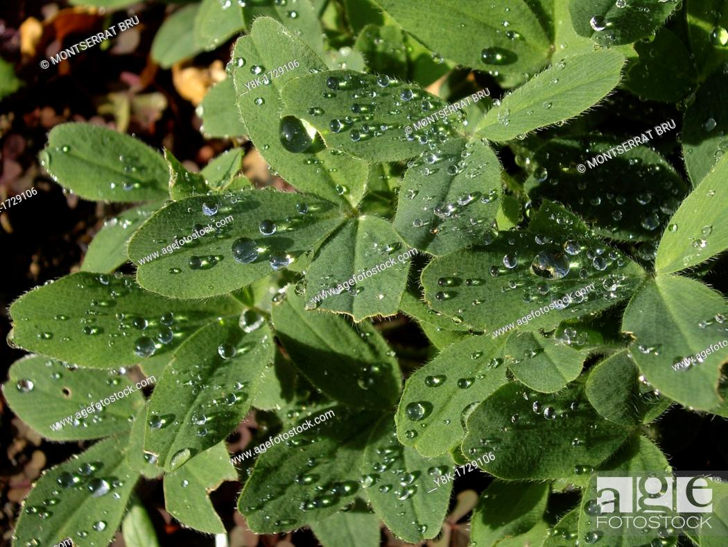 Stock Photo: Clover leaf with rain drops.