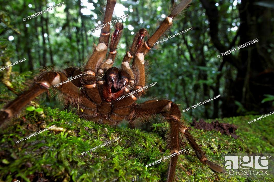 Stock Photo: Teraphosa blondi. Goliath birdeater in the forest. Attack position. French Guiana.