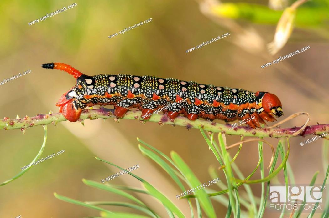 Stock Photo: Spurge Hawk-moth (Hyles euphorbiae), caterpillar feeding on its food plant, a Cypress Spurge (Euphorbia cyparissias), Hesse, Germany.