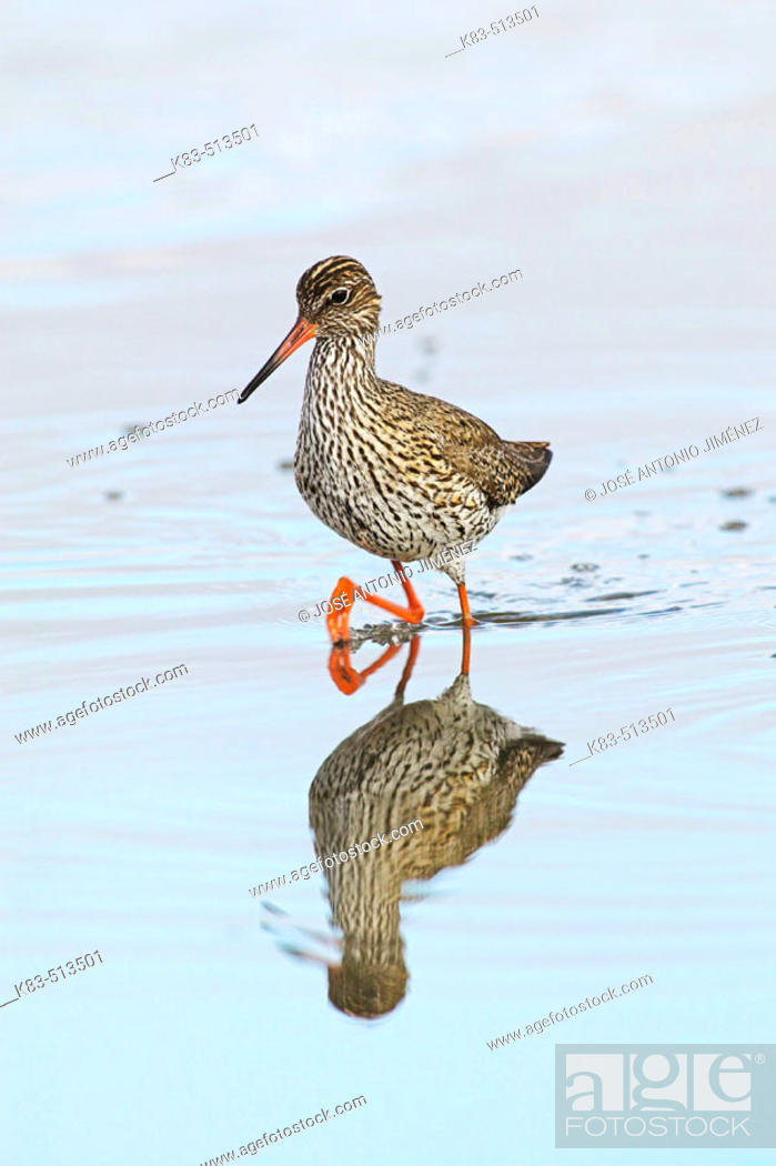 Stock Photo: Redshank (Tringa totanus).