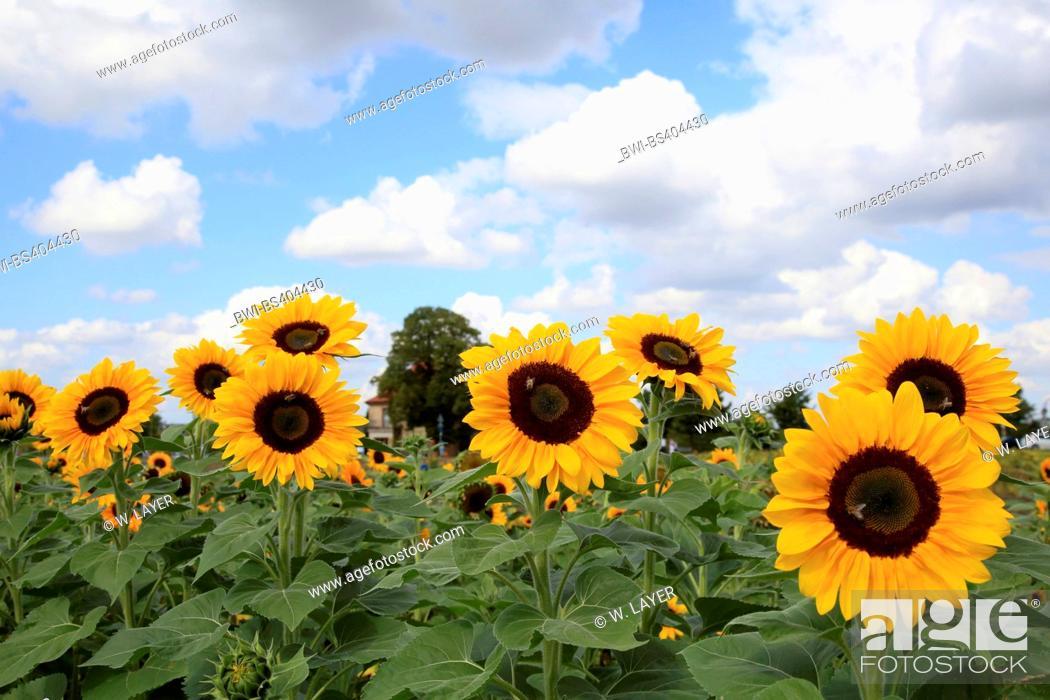 Stock Photo: common sunflower (Helianthus annuus), sunflower field, Germany.