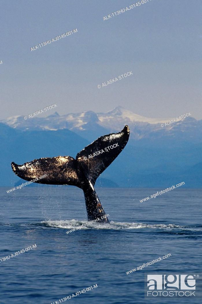 Stock Photo: Humpback Whale Fluke Out of Water Inside Passage SE AK Summer Tongass NF.