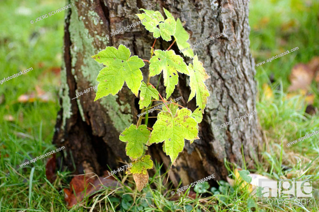 Stock Photo: Young maple tree in front of an old tree.