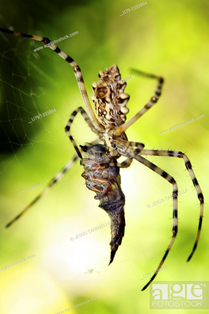 Stock Photo: Spider (Argiope lobata), catching a Robber fly (Laphria sp., fam. Asilidae).