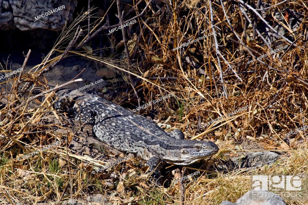 White Throated Monitor Varanus Albigularis Lizard Emerging From