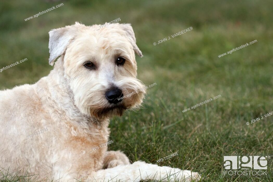 Stock Photo: A Soft Coated Wheaten Terrier looking quizzical  The photograph is of the Photographer's pet.