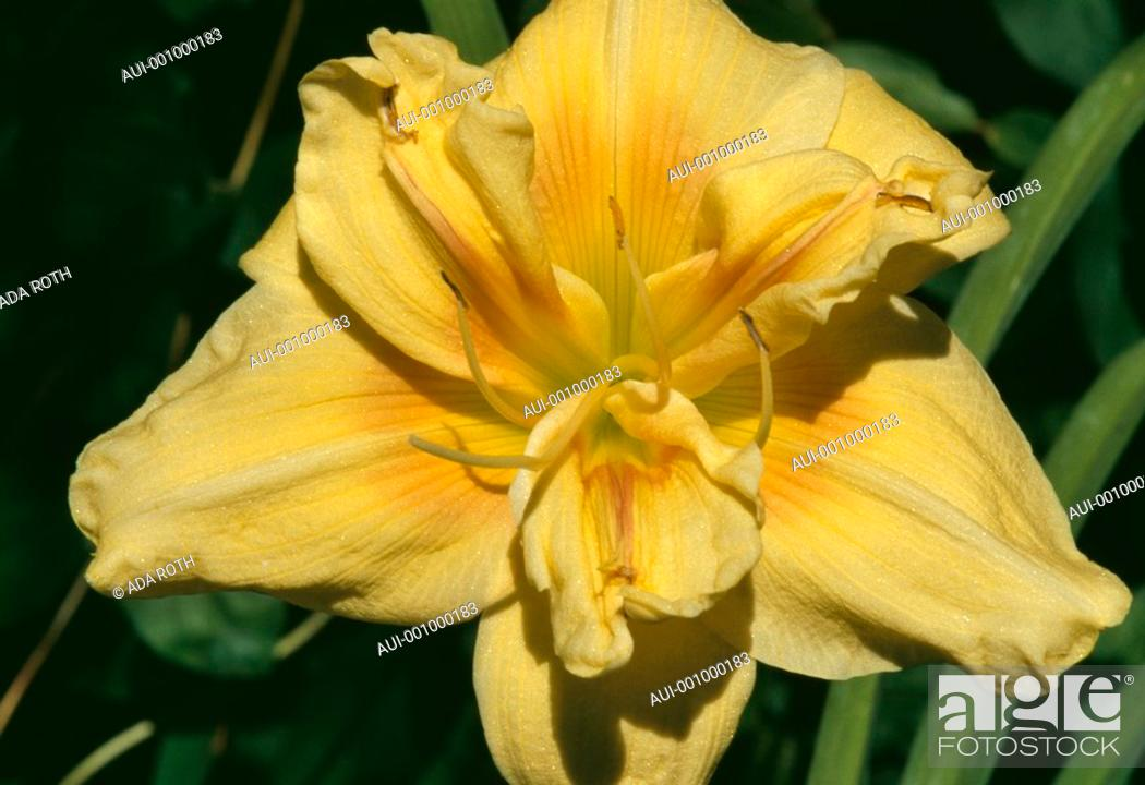 Stock Photo: Hemerocallis - seduction is in all shades of yellow and enticing arguments for a single day of life.