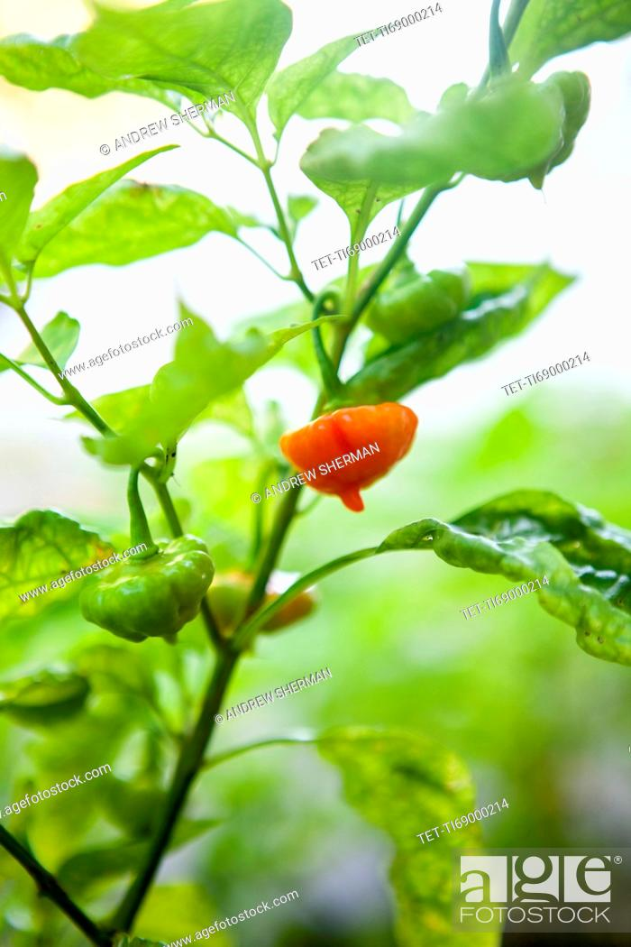 Stock Photo: Pepper on twig.