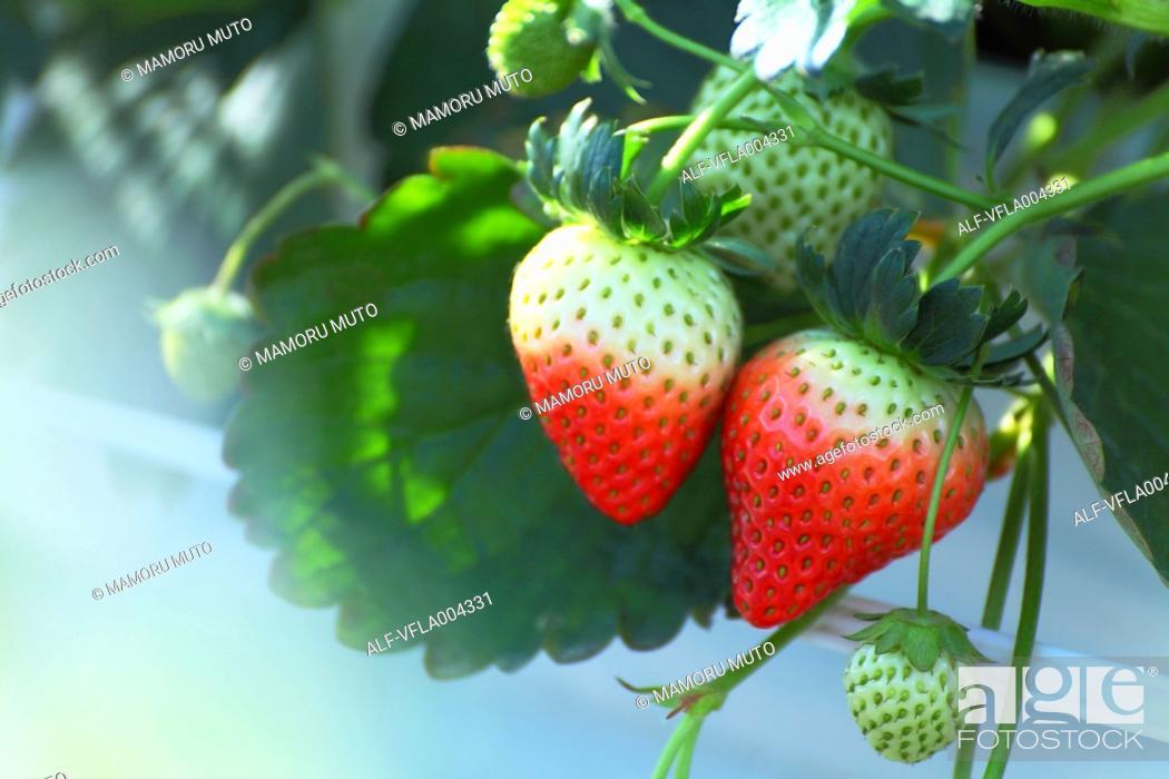 Stock Photo: Strawberries.