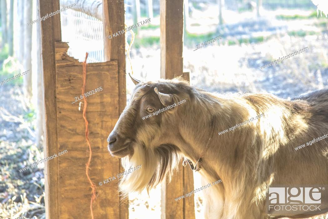 Stock Photo: Very hairy Brown goat on the goat farm. We can see the farm fields behind the goats on a sunny day. Horizontal photo. No people.