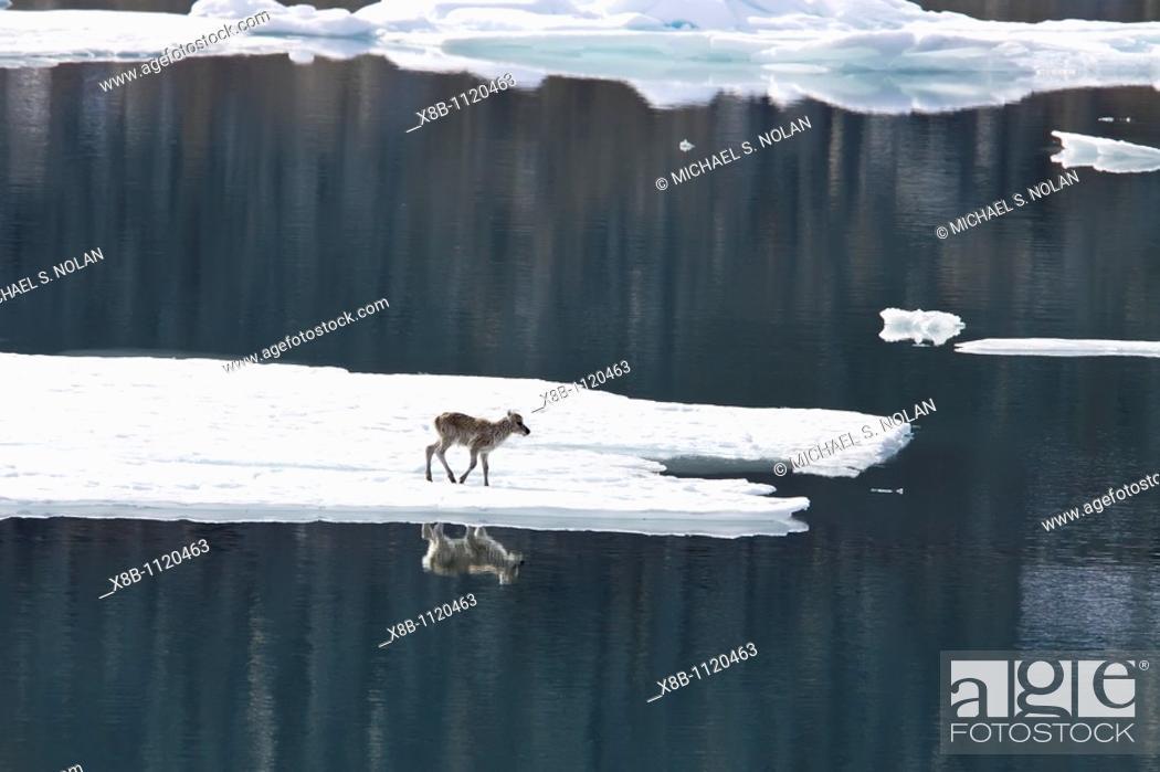 Stock Photo: A stranded Svalbard reindeer fawn Rangifer tarandus platyrhynchus on first-year ice floe at Monaco Glacier in Wood Fjord on Spitsbergen Island in the Svalbard.