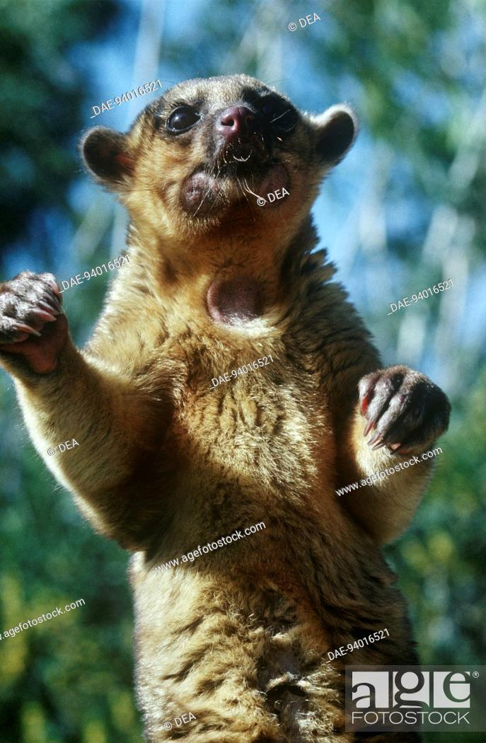 Stock Photo: Zoology - Mammals - Procyonids - Kinkajou (Potos flavus) or honey bear.