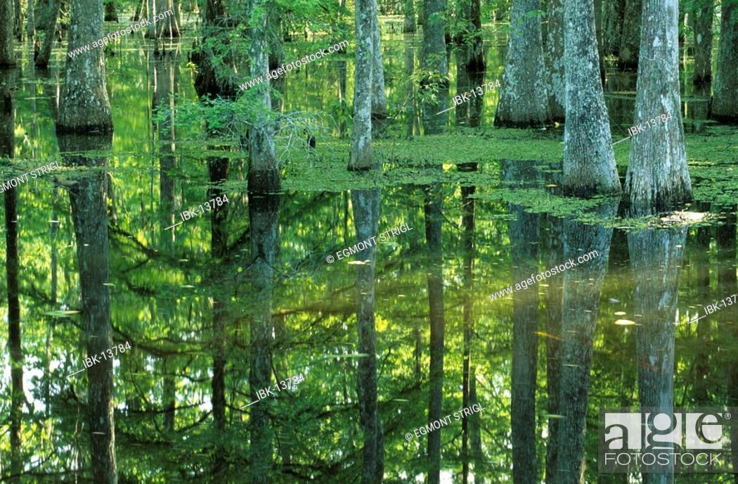 Imagen: Bald cypresses in a bayou of the Atchafalaya swamp or basin.