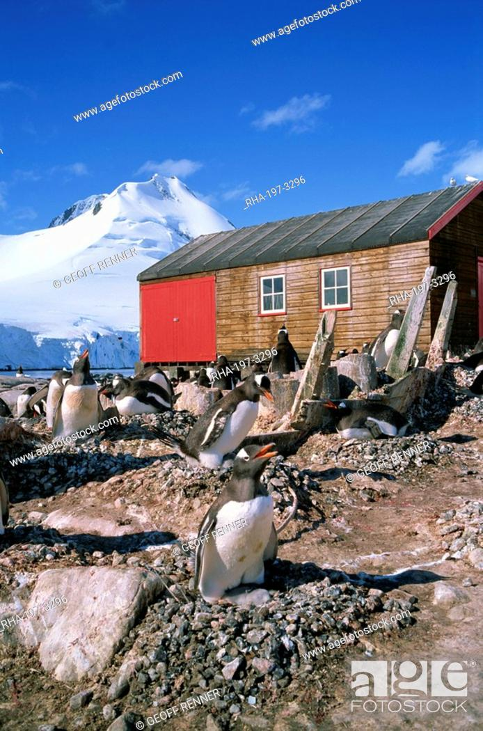 Stock Photo: Gentoo penguins on nests in front of the boat shed at Port Lockroy on the Antarctic Peninsula, Antarctica, Polar Regions.