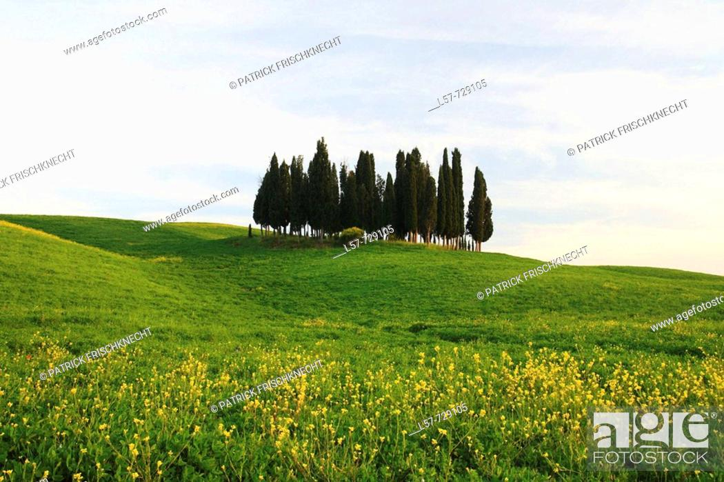 Stock Photo: Cypress, Italian Cypress, Cupressus sempervirens, Rape, hill countryside, agricultural landscape, Tuscany, Italy.