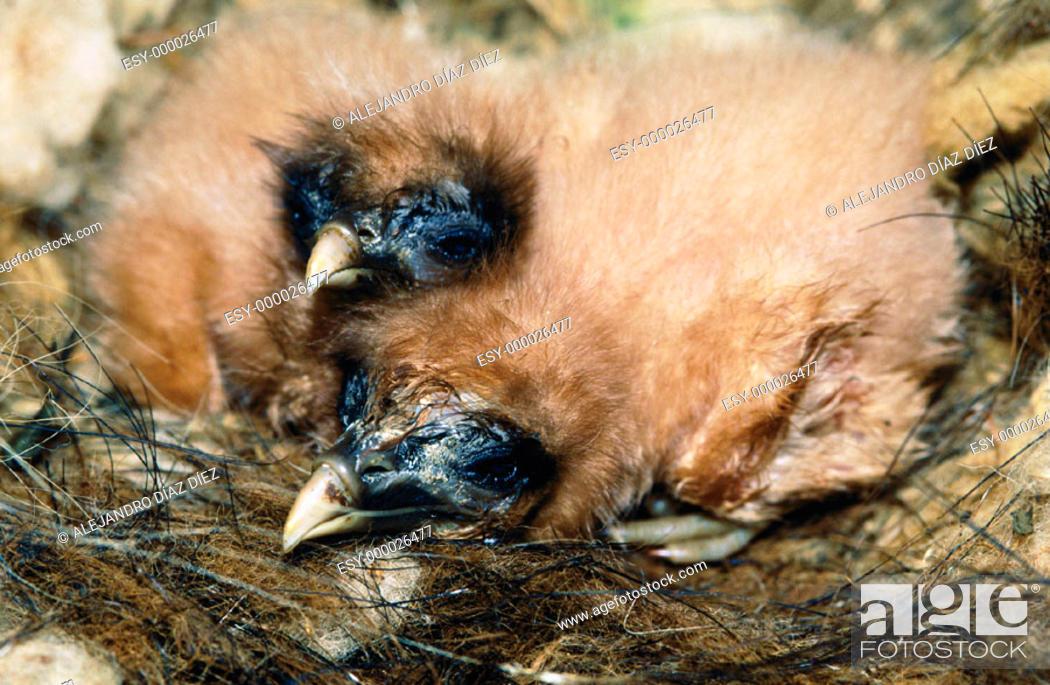 Stock Photo: Egyptian Vulture's (Neophron percnopterus) nest.