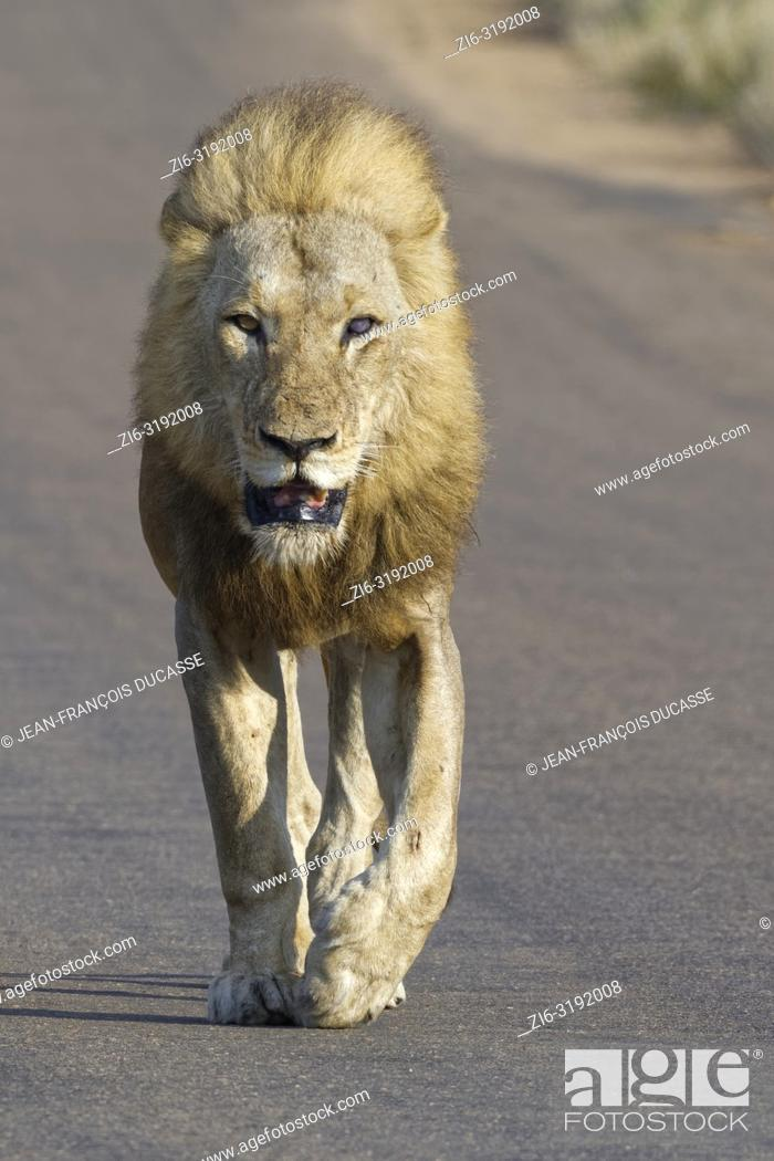 Imagen: African lion (Panthera leo), adult male, blind of an eye, walking on a tarred road, Kruger National Park, South Africa, Africa.