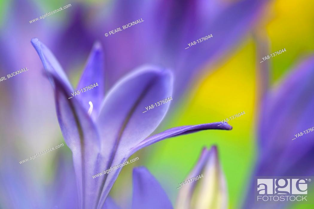 Stock Photo: Studio still life floral / Triteleia laxa or Brodiaea laxa upright pale purple-blue flowers in close-up softly diffused  Summer flowering corm.