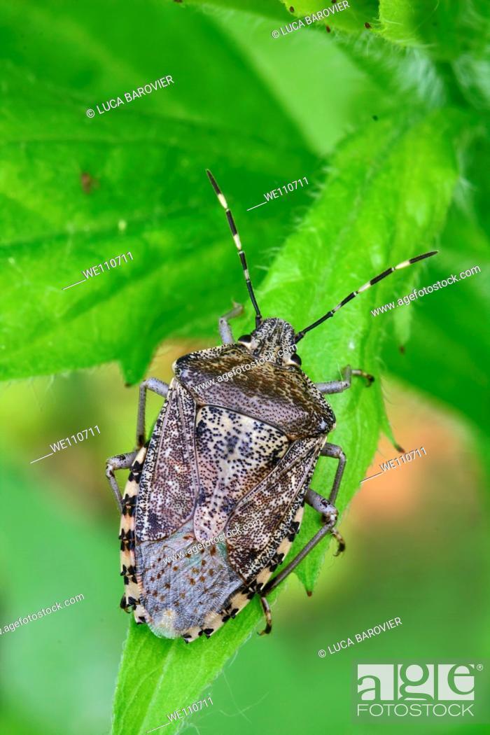 Stock Photo: Dolycoris baccarum - Sloe bug.