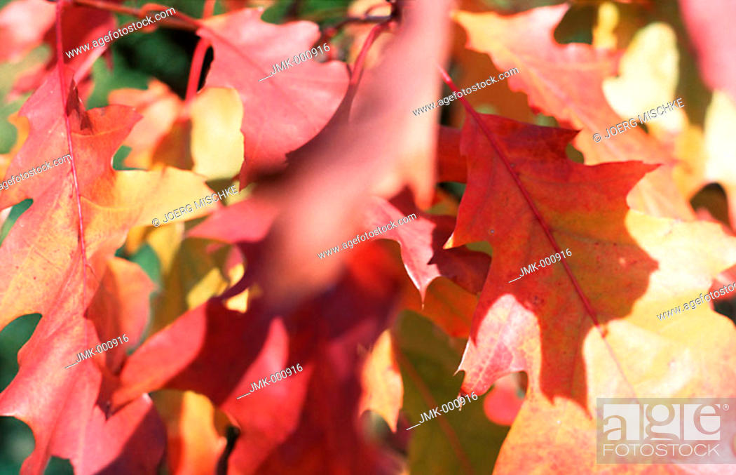 Stock Photo: Coloured leaves of an oak tree.
