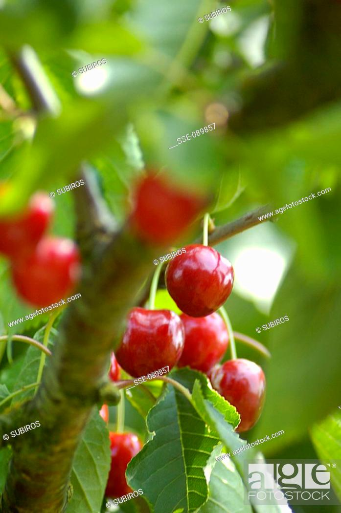 Stock Photo: cherries on tree.