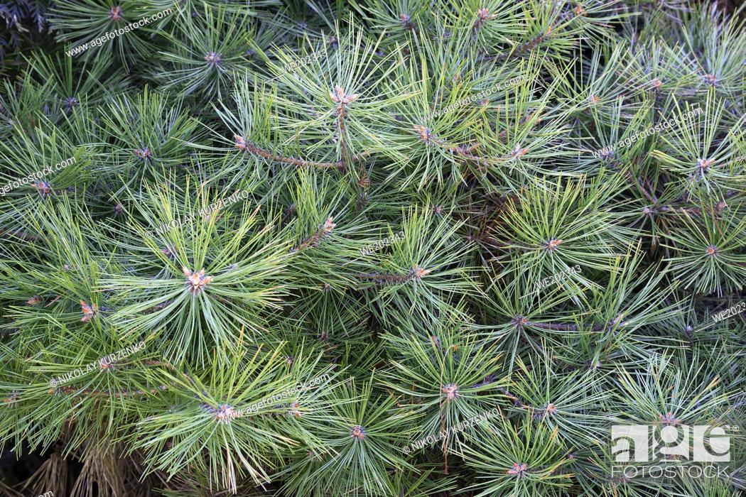 Stock Photo: Japanese snow pine (Pinus parviflora 'Tanima no Yuki').