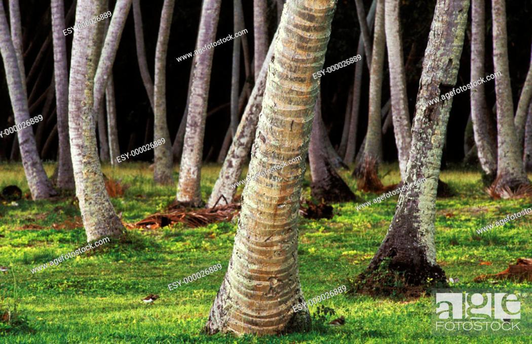 Stock Photo: Coconut palm trunks on Alfons island, Seychelles.