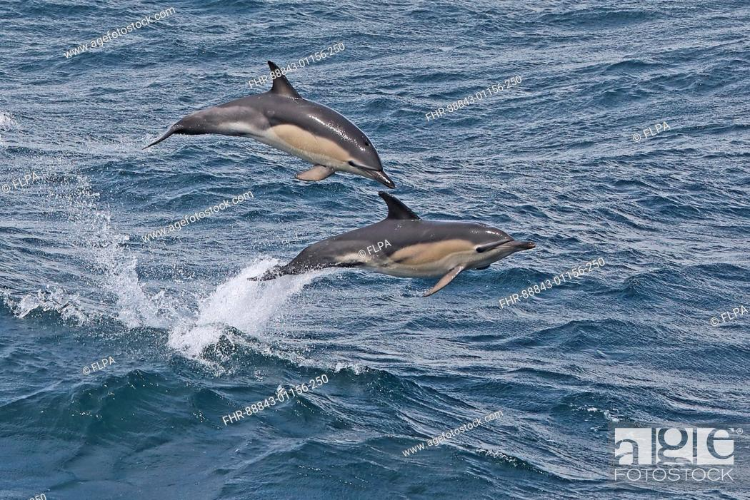 Stock Photo: Short-beaked Common Dolphin (Delphinus delphis delphis) two adults jumping from sea Atlantic Ocean off coast of Portugal        May.