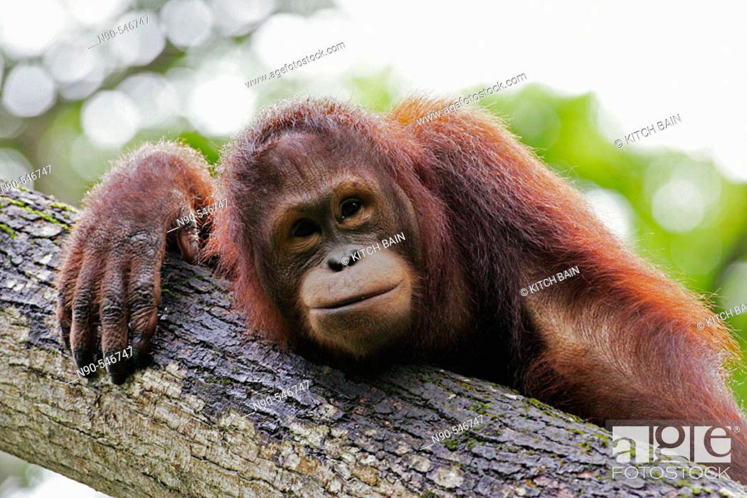 Stock Photo: Orangutan.