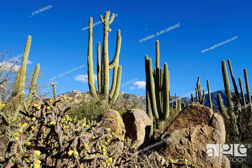 Stock Photo: Saguaro cactus, (Carnegiea gigantea), grow in the foothills of the Santa Catalina Mountains, a forest covered Sky Island.