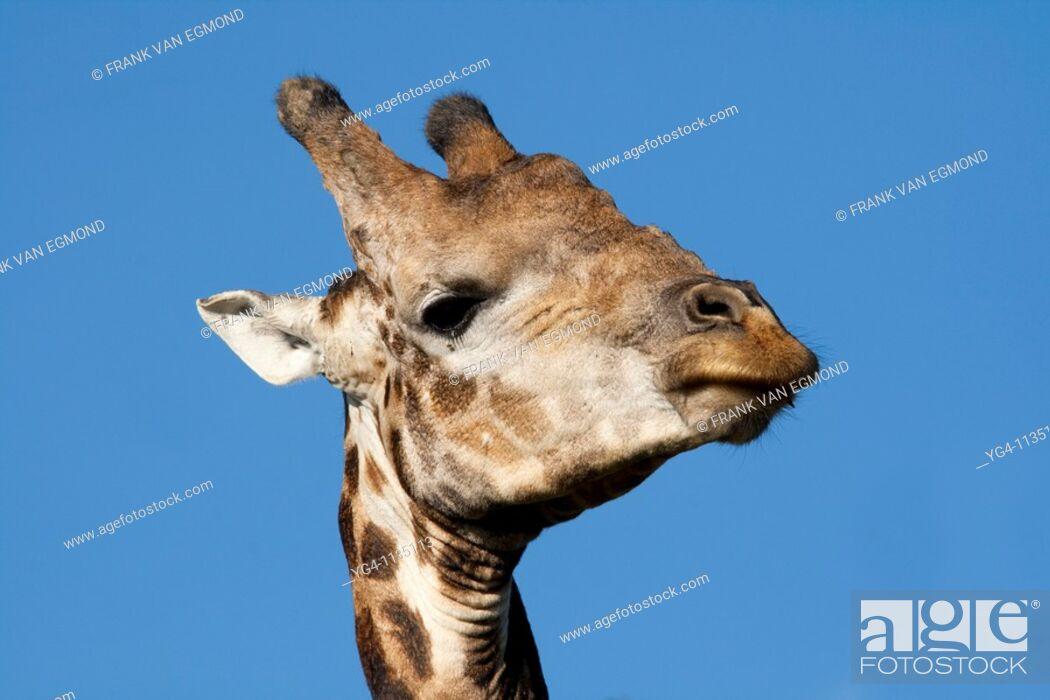 Stock Photo: Giraffe Giraffa Camelopardalis  April 2009, fall  Tala Game Reserve, Kwazulu-Natal, South Africa.