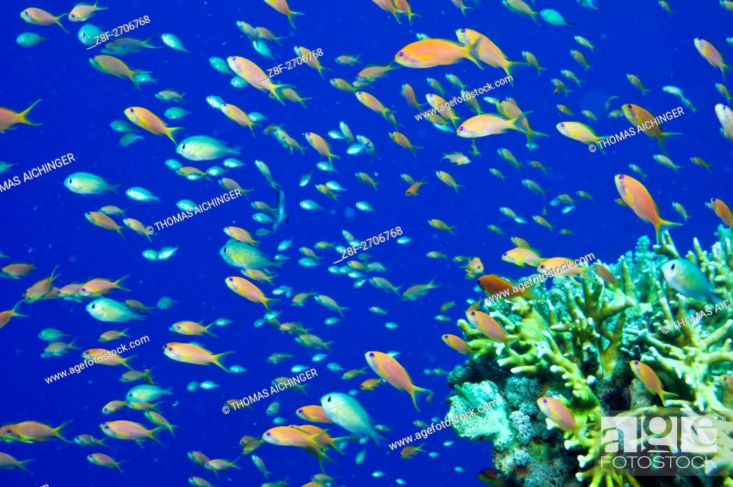 Photo de stock: Anthiinae (Pseudanthias squamipinnis), Red Sea, Egypt.