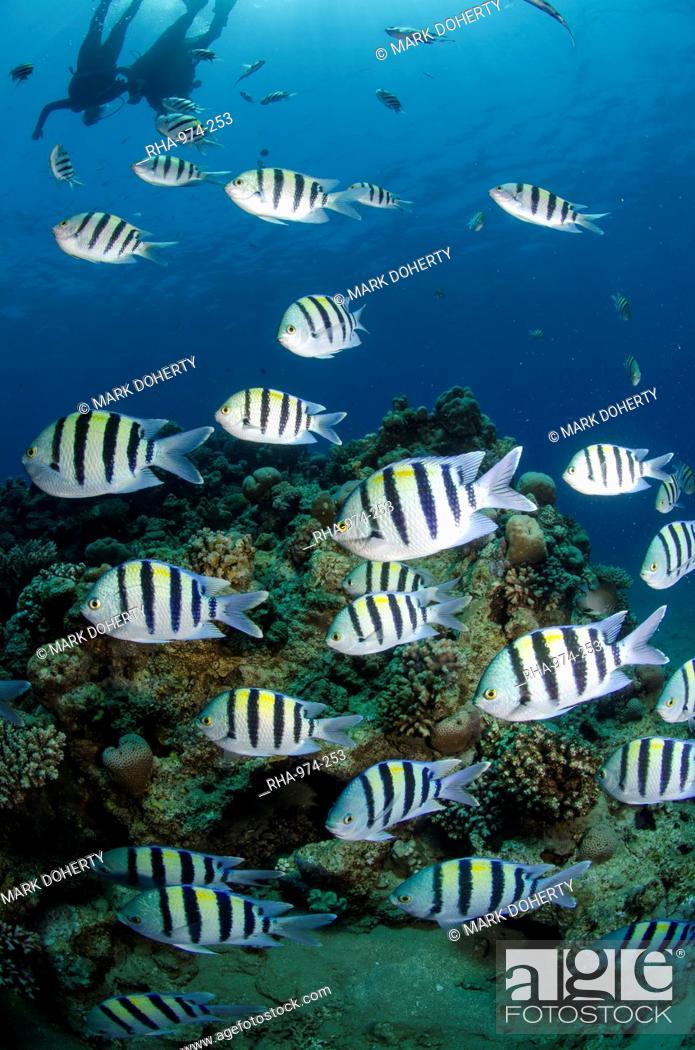 Stock Photo: Shoal or school of sergeant major fish, Abudefduf vaigiensis, Naama Bay, off Sharm el Sheikh, Sinai, Egypt, Red Sea, Egypt, North Africa, Africa.