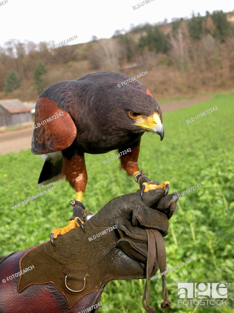 Stock Photo: Falcon with a handler.